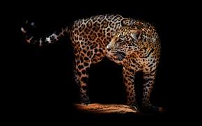 Обои взгляд, морда, поза, темнота, спина, пасть, леопард, хвост, клыки, стоит, черный фон, агрессия, дикая кошка, ...