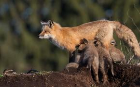 Картинка животные, дети, фон, земля, лиса, дикая природа, лисица, боке, млекопитающие, детеныши, мать, лисенок, лисёнок, кормление, …