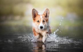 Картинка взгляд, морда, вода, брызги, природа, портрет, собака, мокрая, лапы, купание, бег, щенок, рыжая, прогулка, водоем, …