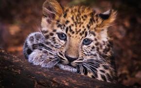 Картинка глаза, взгляд, морда, котенок, фон, портрет, лапы, малыш, леопард, бревно, котёнок, детеныш, леопарденок, малец-леопардец