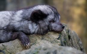 Картинка морда, природа, камни, серый, фон, сон, лапы, лиса, спит, лежит, серая, лисица, песец, полярная, закрытые …