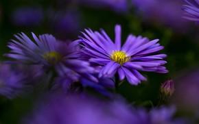 Картинка цветы, фон, размытие, лепестки, сад, фиолетовые, астры