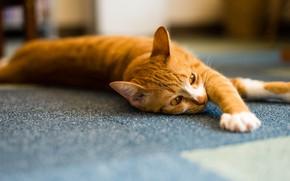 Картинка кошка, кот, морда, свет, поза, фон, комната, лапы, рыжий, пол, полосатый, красавчик, размытый, потягивается, палас, …