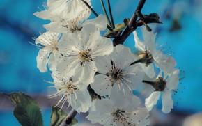 Картинка цветы, ветка, весна, цветение, flowers, spring, branch, bloom