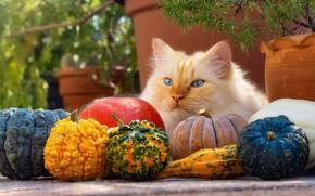 Картинка осень, кошка, кот, взгляд, морда, ветки, поза, сад, урожай, рыжий, тыквы, лежит, голубые глаза, горшки, …