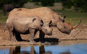 Картинка вода, птицы, природа, река, берег, малыш, пара, Африка, носорог, детеныш, мама, два, водоем, у воды, …