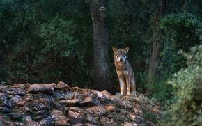 Картинка лес, взгляд, деревья, природа, темный фон, камни, серый, листва, волк