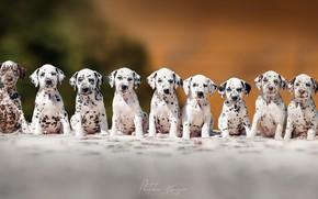 Картинка щенки, порода, далматинцы