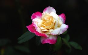Картинка цветок, темный фон, розовая, роза, бутон, двухцветная