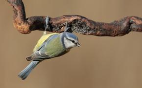 Картинка птица, ветка, синица
