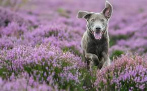 Картинка морда, настроение, собака, прогулка, вереск