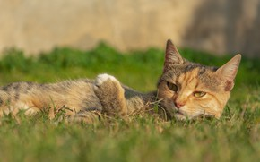 Картинка кошка, трава, кот, отдыхает