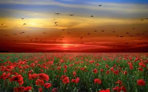 Картинка закат, цветы, птицы, маки, стая, вечер, маковое поле