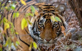 Картинка взгляд, морда, листья, ветки, природа, тигр, хищник, боке
