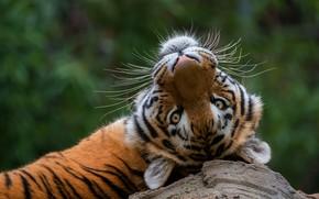 Картинка лето, усы, взгляд, морда, тигр, поза, отдых, релакс, портрет, лежит, дикая кошка, зеленый фон, боке