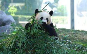 Картинка взгляд, морда, листья, свет, ветки, природа, поза, бамбук, медведь, панда, сидит, много, зоопарк, обед, трапеза