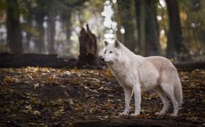 Картинка осень, лес, белый, взгляд, листья, деревья, природа, поза, стволы, листва, волк, пень, боке, арктический, полярный