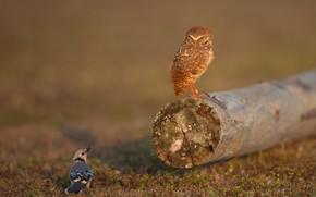 Картинка птицы, сова, две, бревно, парочка, сойка, сыч, две птицы