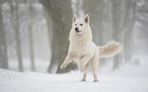Картинка зима, лес, снег, прыжок, собака, снегопад, швейцарская овчарка