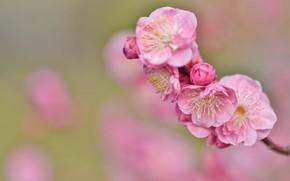 Картинка веточка, фон, сакура, розовые цветы