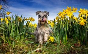 Обои язык, небо, трава, морда, солнце, цветы, природа, шерсть, жёлтые, нарциссы, Шнауцер