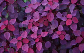 Картинка Nature, Purple, Wallpaper, Foliage