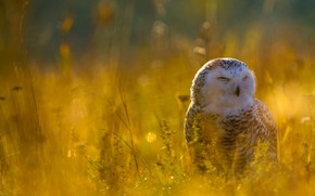 Картинка природа, сова, птица, поляна, белая, желтый фон, полярная, полярная сова, арктическая
