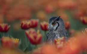 Картинка цветы, сова, птица, боке, тбльпаны, Белолицая совка