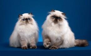 Картинка взгляд, кошки, поза, фон, мордочка, котята, парочка, два, фотостудия, персидские, колор-пойнт