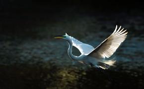 Картинка свет, полет, темный фон, птица, крылья, перья, белая, цапля, размах