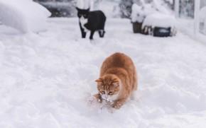Картинка зима, кошка, кот, взгляд, снег, кошки, поза, черный, коты, игра, рыжий, двор, сугробы, резвится
