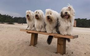 Картинка песок, собаки, пляж, скамейка, лавочка, компания, прически, сидят, мохнатые