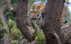 Картинка взгляд, природа, тигр, дерево, стволы, бревно