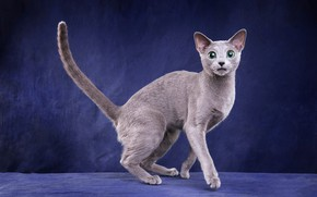 Картинка кошка, кот, взгляд, поза, котенок, серый, лапки, мордочка, милый, окрас, стоит, котёнок, ушки, лапочка, зеленые …