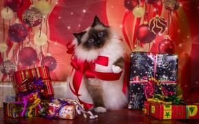 Картинка кошка, фон, праздник, новый год, рождество, подарки, бантики, коробки, пушистая, сиамская, колор-пойнт, рэгдолл