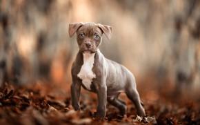 Картинка осень, взгляд, листья, природа, поза, серый, фон, настроение, листва, собака, лапы, малыш, щенок, прогулка, мордашка, …
