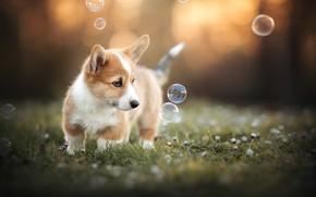 Картинка цветы, собака, мыльные пузыри, щенок, боке, пёсик, Вельш-корги