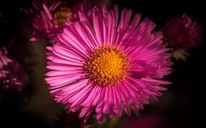 Картинка цветок, темный фон, розовая, лепестки, астра