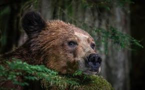 Картинка морда, медведь, зверь
