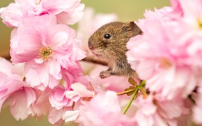 Картинка цветы, ветки, вишня, фон, весна, мышь, сакура, мышка, мордочка, розовые, цветение, грызун, слива, полевая, мышь-малютка, …