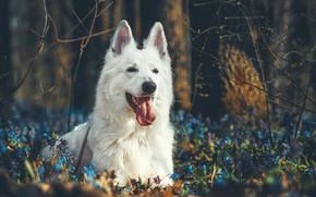 Картинка цветы, портрет, собака, морда, Белая швейцарская овчарка, ветки, лес, язык