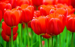 Картинка тюльпаны, красные, бутоны