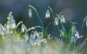 Картинка свет, цветы, природа, фон, поляна, весна, подснежники, нежные, бутончики