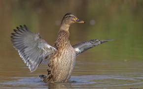 Картинка природа, озеро, птица, крылья, утка, DUELL ©