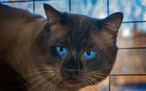 Картинка кошка, кот, усы, морда, крупный план, голубые глаза, боке