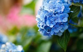 Картинка листья, цветы, фон, голубые, боке, гортензия