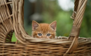 Картинка животное, корзина, голова, детёныш, котёнок