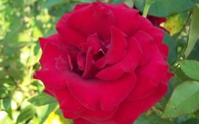 Картинка цветок, роза, красная роза, Meduzanol ©