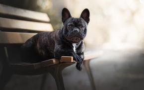 Картинка взгляд, морда, собака, скамья, боке, Французский бульдог