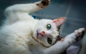 Картинка кошка, белый, кот, взгляд, морда, поза, фон, релакс, портрет, лапы, лежит, зеленые глаза, котэ, потягивание, ...
